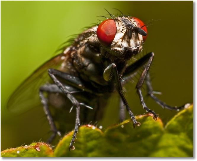 Fliege-Makro