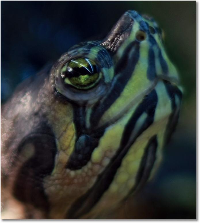 Gelbwangenschmuckschildkroete Makro