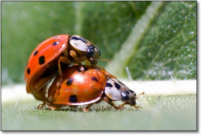 Käfer Paarung