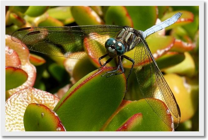 Libelle auf pflanze