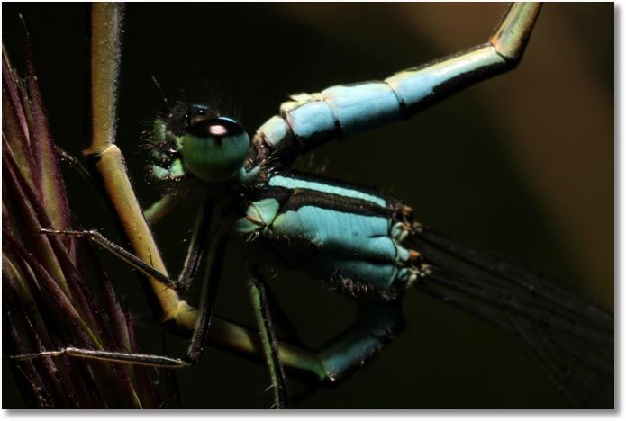 Libelle Paarung Männchen