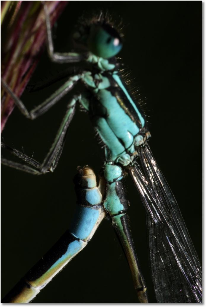 Libelle Paarung Detail