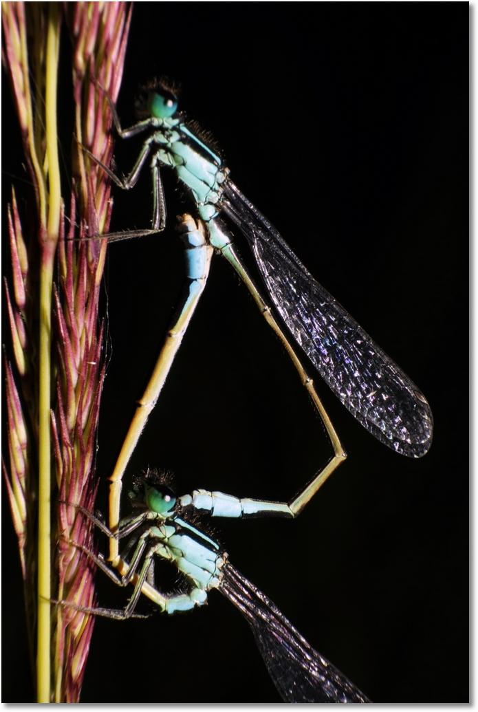Libellen Paarung Übersicht