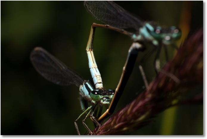 Libelle Paarung web