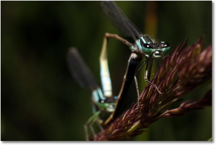 Libelle Paarung Weibchen
