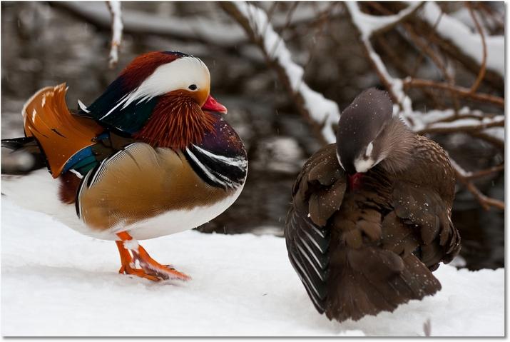 Mandarinente-Mannchen-Weibchen