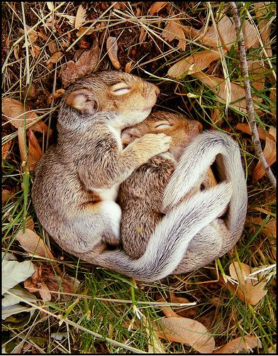 Schlafende Eichhörnchen