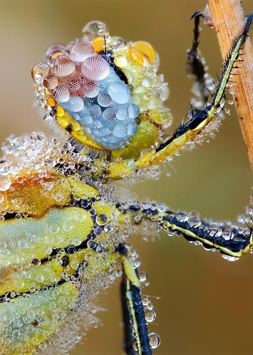 Morgentau auf Biene Makro