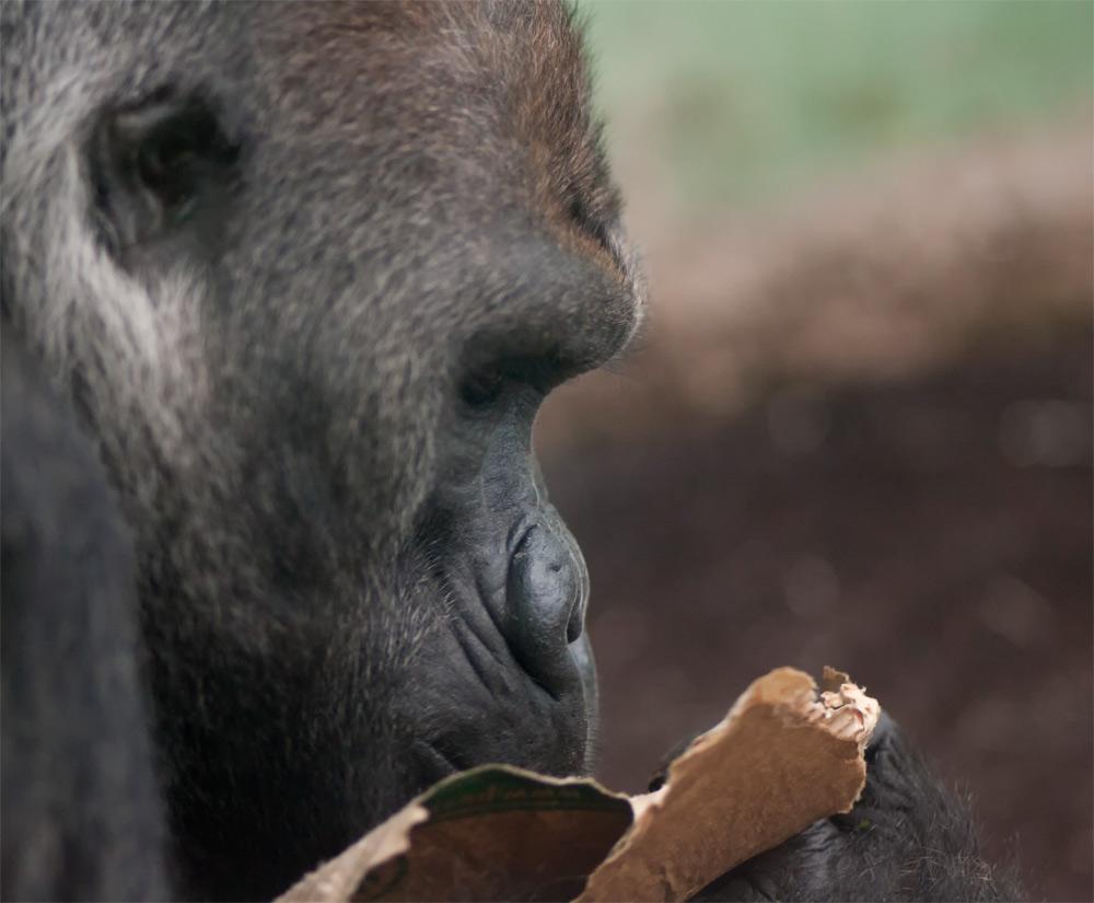 Gorilla liest