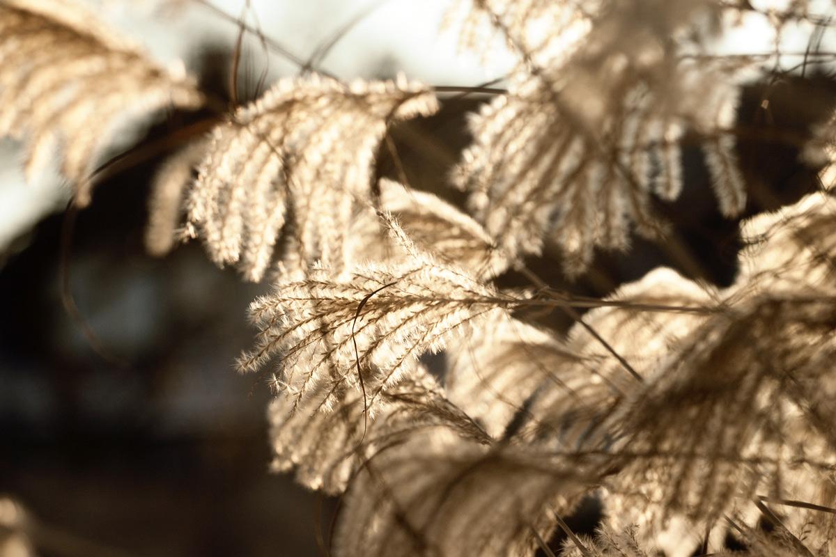 Schilf Wind
