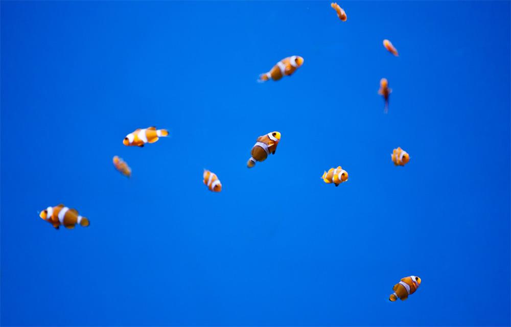 kleine bunte Clownfische