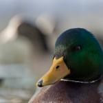 Wie fotografiere ich Enten? Tips!