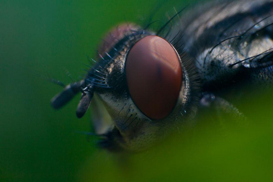 Kopf einer Fliege
